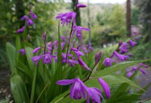 laade-reisen-viatorigarten-japanorchidee-bletilla-striata